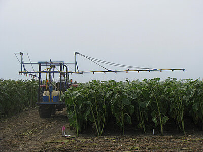 A small tractor with a sprayer driving between two plots of sunflowers.