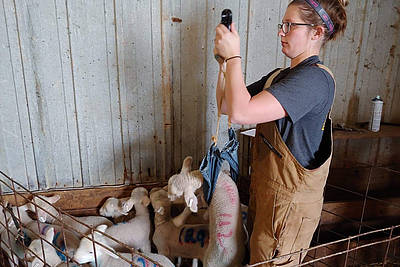 Paige Anderson, a master's student in Animal Sciences from Jackson, Minn., weighs a lamb as part of this research project.