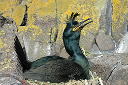 photo of European shag songbird