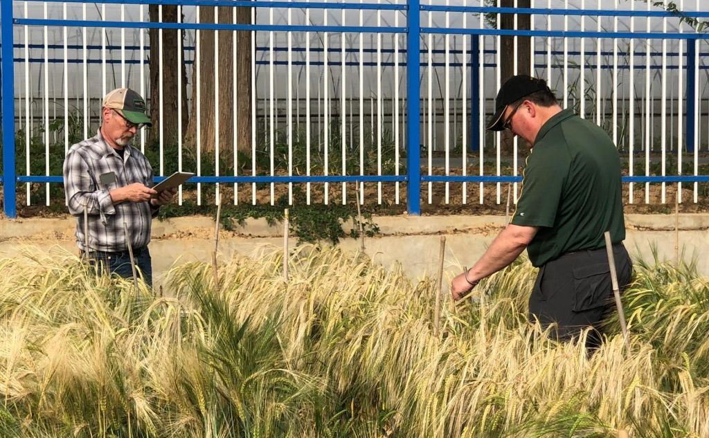NDSU researchers stand in a test plot of of waist-high barley