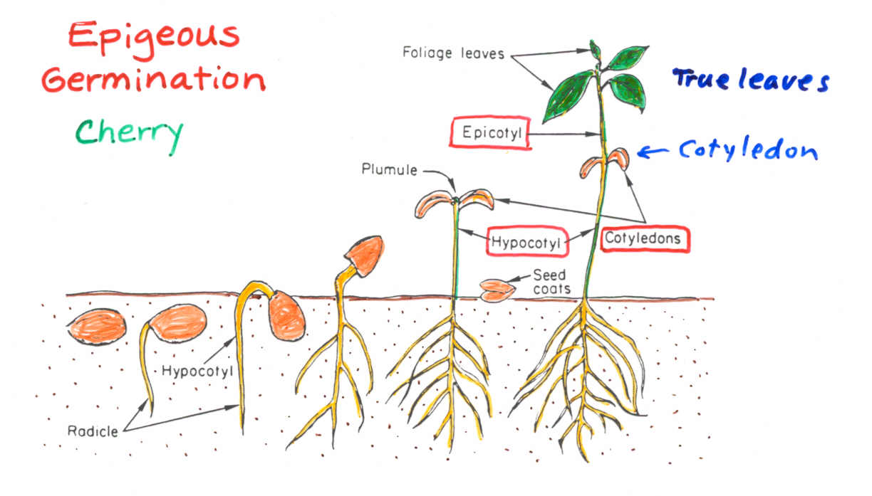 Seed Germination Diagram For Kids A Plant Is Born