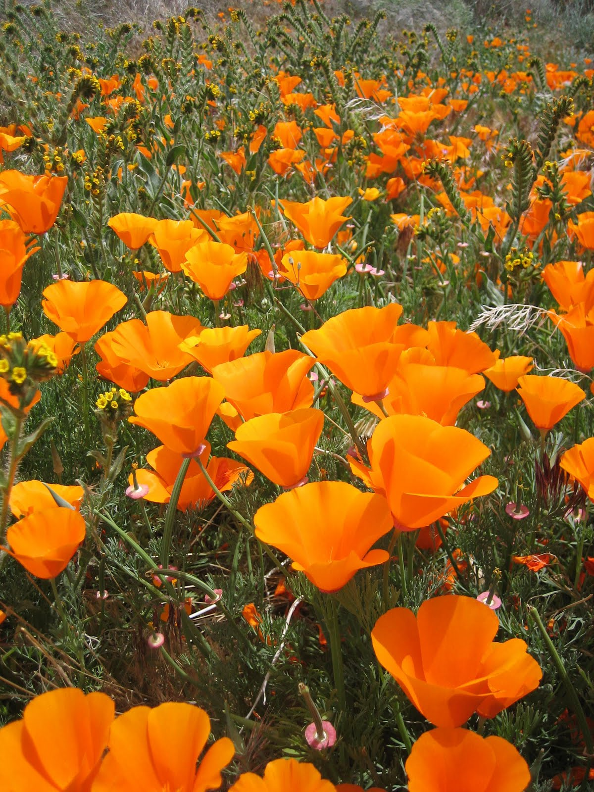 Plant article orchids characteristics bright orange california poppies bloom at the antelope valley poppy reserve located in northern los angeles county from late february through early may mightylinksfo