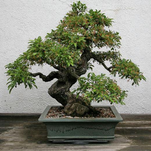 Bonsai Trees  Home