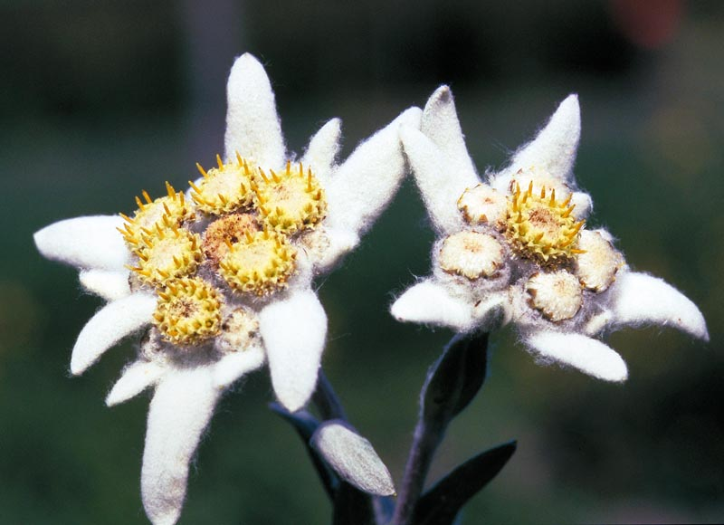 Edelweissg its white colour is considered a symbol of purity and edelweiss means noble whiteness or noble purityits romanian name floarea reginei means queens m4hsunfo