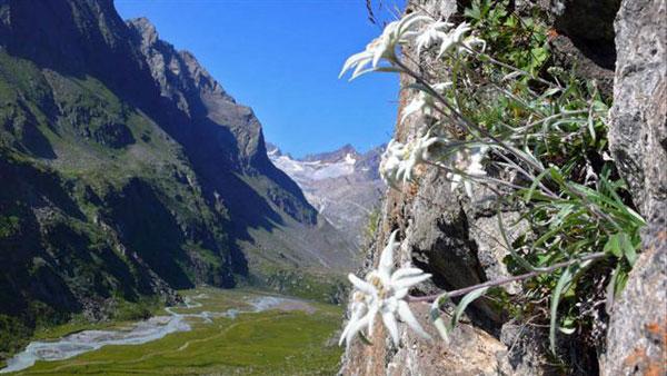 edelweisschar, Natural flower