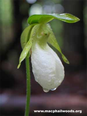 Horticulture 211 orchids characteristics pink lady slipper a rare white lady slipper mightylinksfo