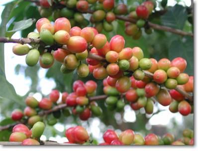 Growing Coffee In Greenhouses