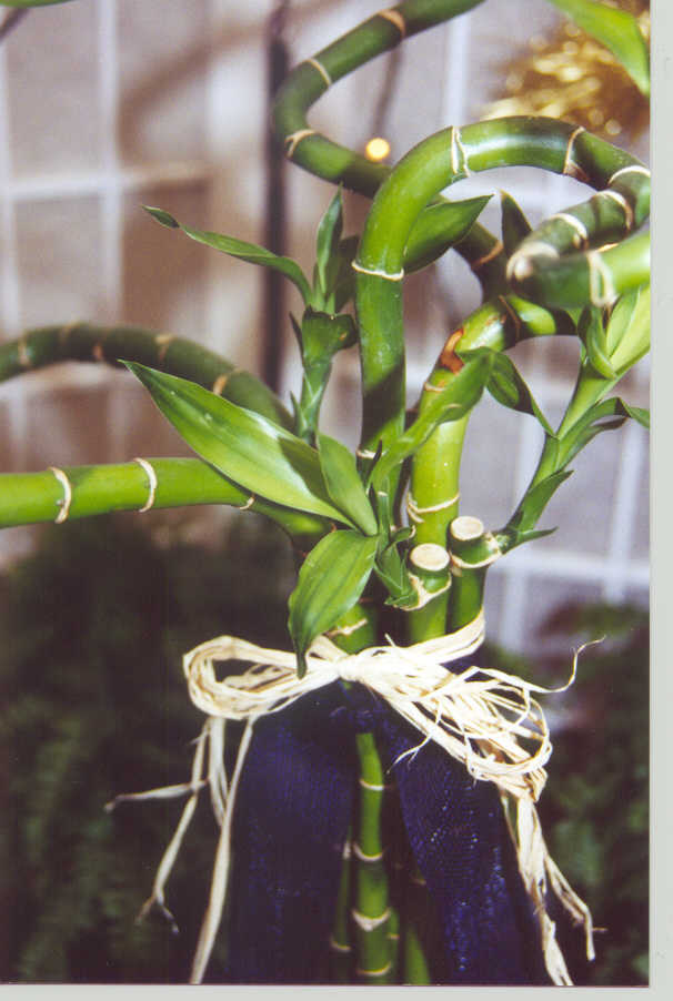 how to make lucky bamboo grow curly