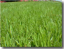 Golf Course Grasses