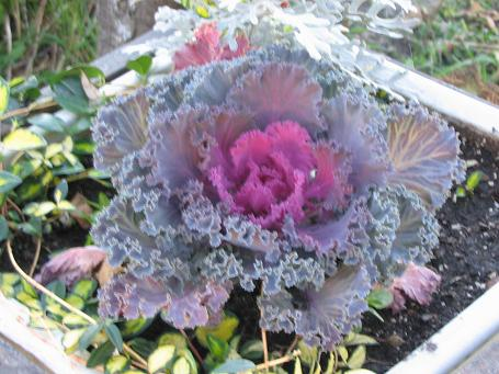 A Great Plant That Has An Unusual Accent Looks In Your Fall Gardens Is Flowering Kale Like Cabbage With Center Of