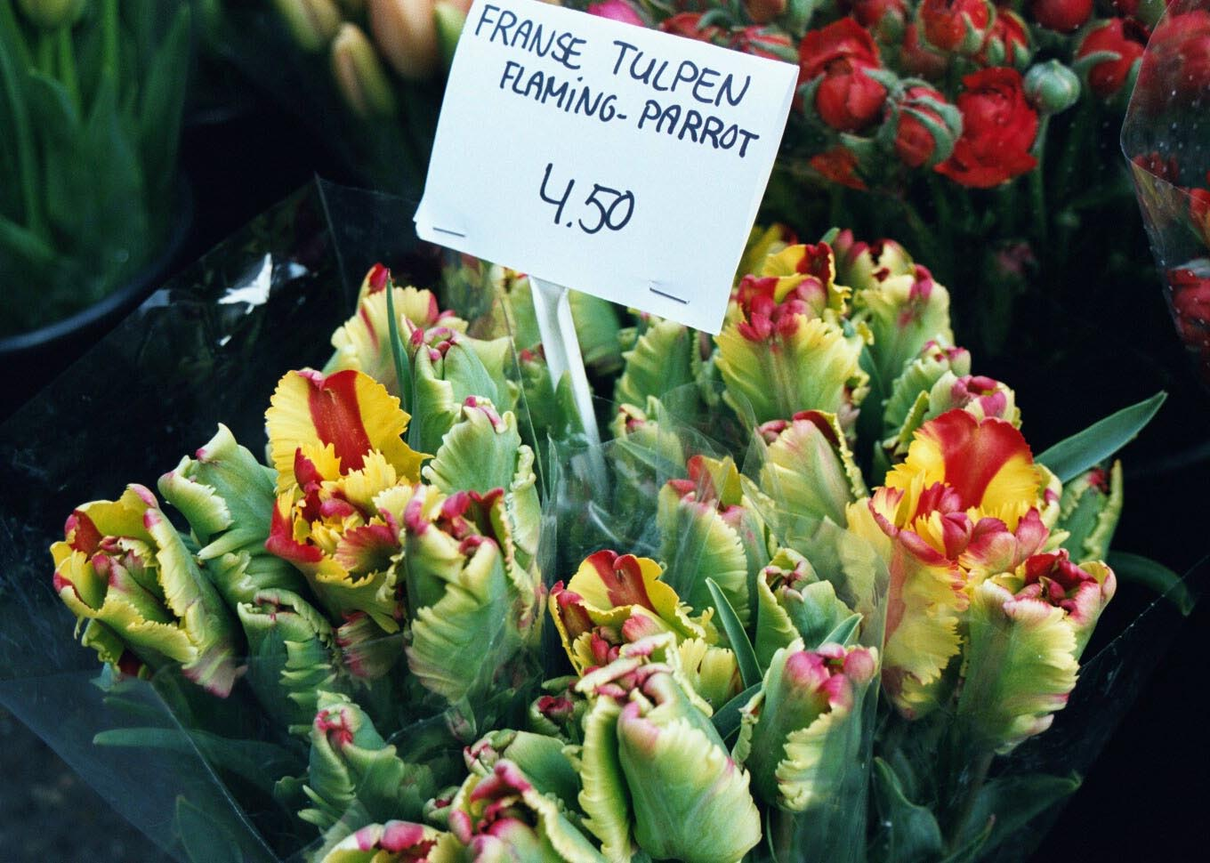 tulip and how to grow