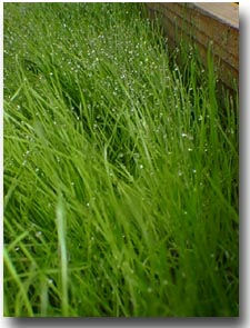 Fescue grasses for Tall red grass