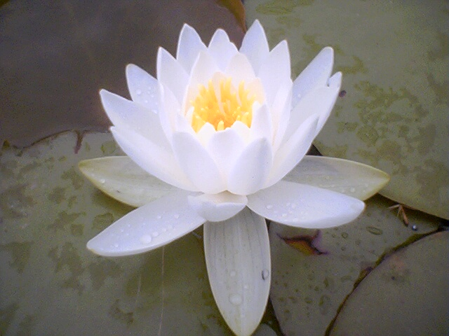 History of the lotus flower back in egyptians times the lotus flower