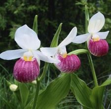Lady slipper mightylinksfo
