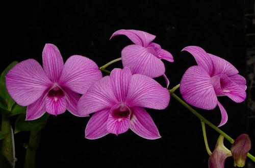 Phalenopsis Care