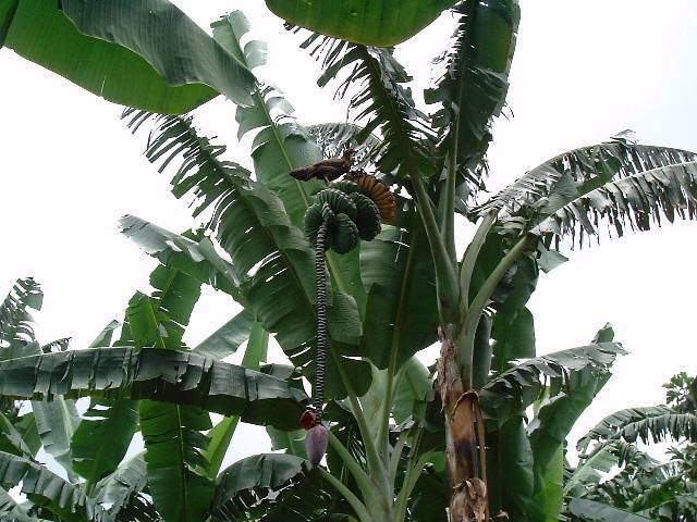 Banana Propagation